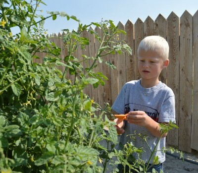 Get Tomato Plants to Produce More Tomatoes