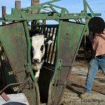 Vaccinating Heifers