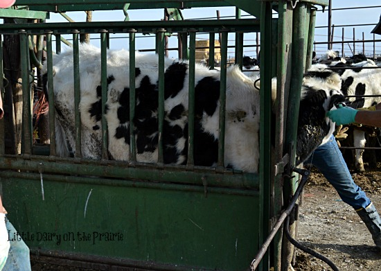 Since we can't reason with them they have to be locked up!  Little Dairy on the Prairie
