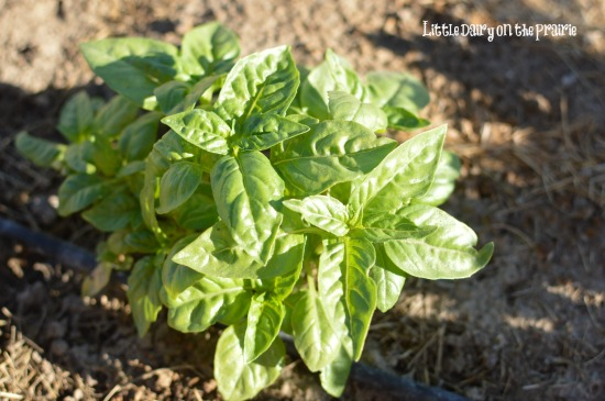 Fresh basil in the garden!  Little Dairy on the Prairie