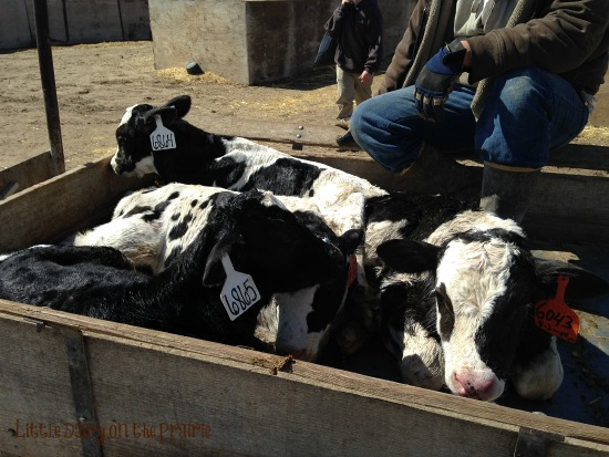 12 baby calves were born on the same day! These calves are only a few days old! Little Dairy on the Praire - Copy
