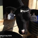 Baby Calf Tags