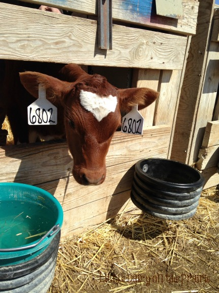 Such a cute little baby calf face! Little Dairy on the Prairie - Copy