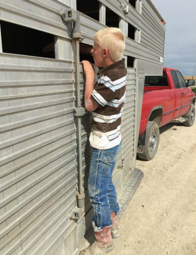 a little boy lookin through the sides of a stock trailer