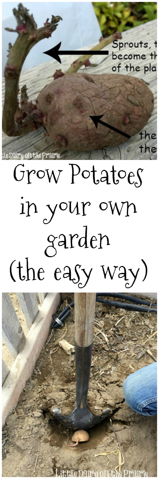 You are going to fall in love with growing potatoes in your own garden! It's easier than you think!  Little Dairy on the Prairie