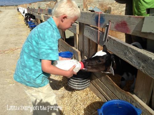Baby calf feeding