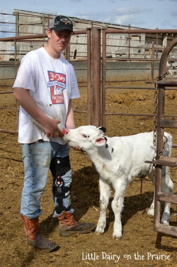 Carson feeding a baby calf