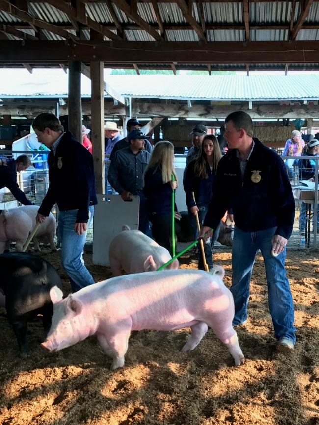 Small Town County Fair - Swine