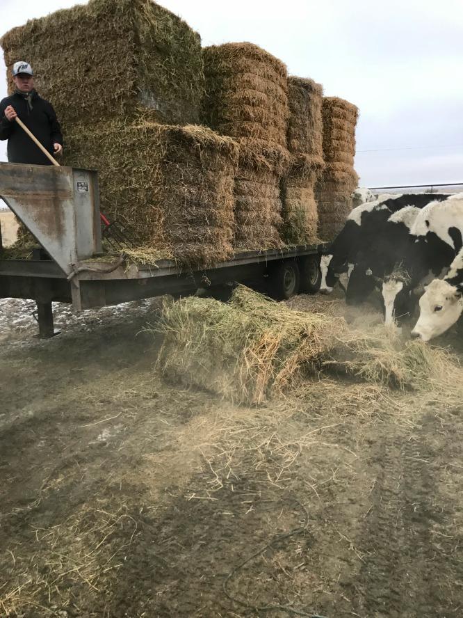 S'mores Smoothie- Carson feeding cows