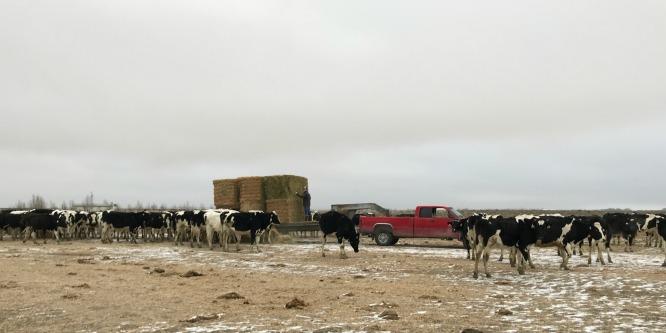 S'mores Smoothie - feeding cows