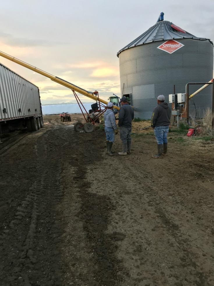Farmers unloading a load of grain into a grain bin