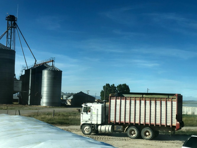 A white truck with hauling silage with grain bins in the background