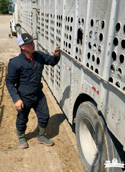 A man in blue coveralls getting cows out of a semi trailer