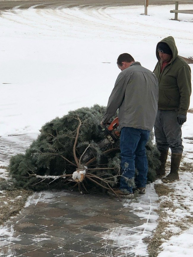 boys cutting a Christmas tree with a chainsaw
